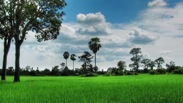 Green Rice Field Time Lapse: Stock Video