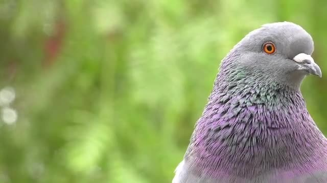 Close-up Shot Of A Dove: Stock Video
