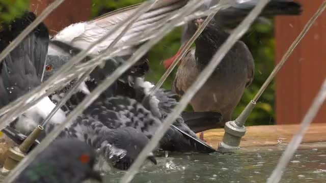 Pigeons Bathing In Water Fountain: Stock Video