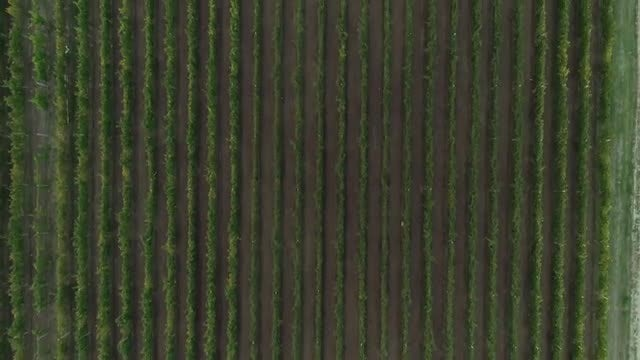 Overhead Shot Of Expansive Vineyard: Stock Video