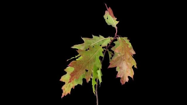 Acer Leaves Drying In Reverse: Stock Video