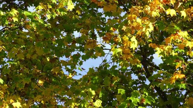 Zoom In - Autumn's Maple Trees: Stock Video