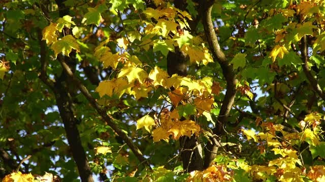 Leaves Of Maple Tree: Stock Video
