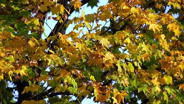 Maple Trees In Fall: Stock Video