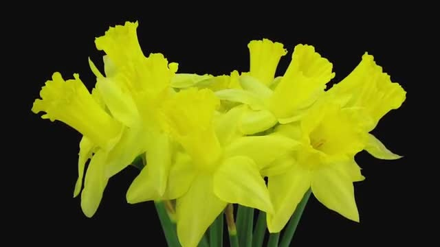Yellow Narcissus Flower Bouquet: Stock Video