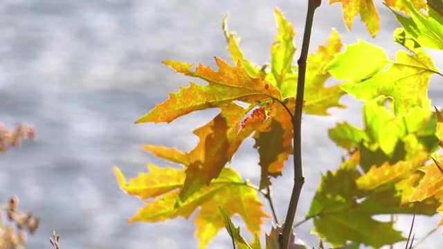 Branch With Autumn Leaves: Stock Video