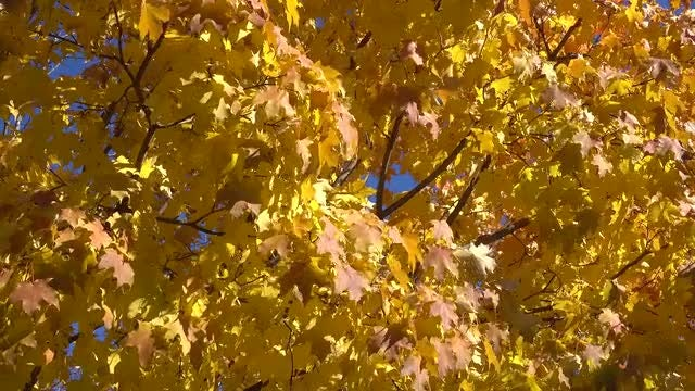 Tree With Yellow Autumn Leaves: Stock Video