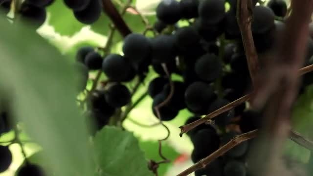 Close-up Shot Of Grape Vines: Stock Video