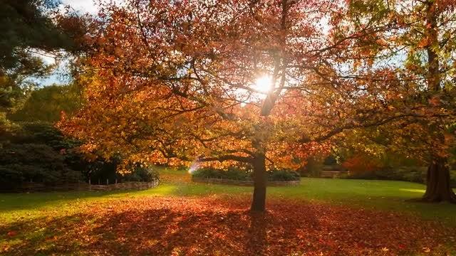 Large Oak Tree During Sunset: Stock Video