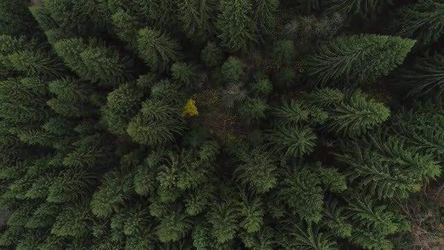 Top Down Pine Forest Shot: Stock Video