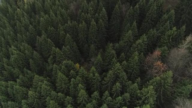 Aerial Shot Of Pine Forest: Stock Video