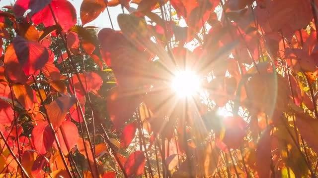 Sun Peeking Through Red Leaves: Stock Video