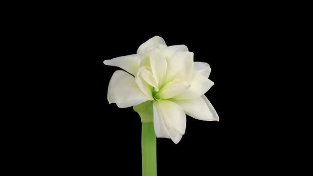 Time-Lapse of Opening White Amaryllis: Stock Video