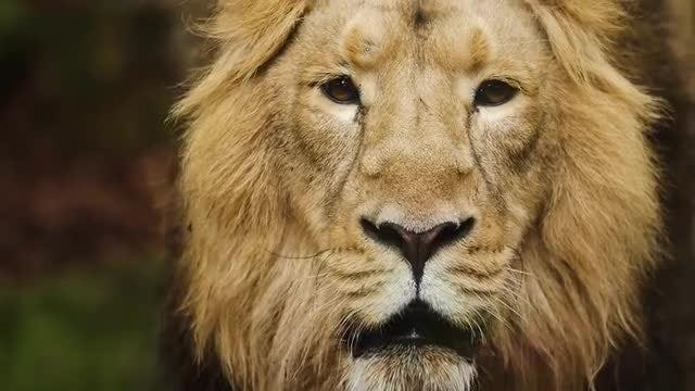 Portrait Of Male Lion: Stock Video