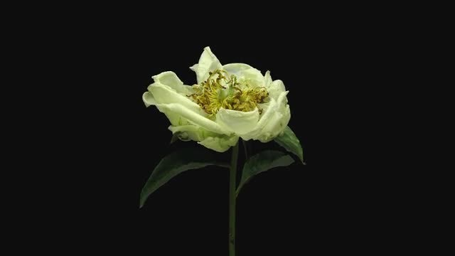 White Peony Flower Is Dying: Stock Video