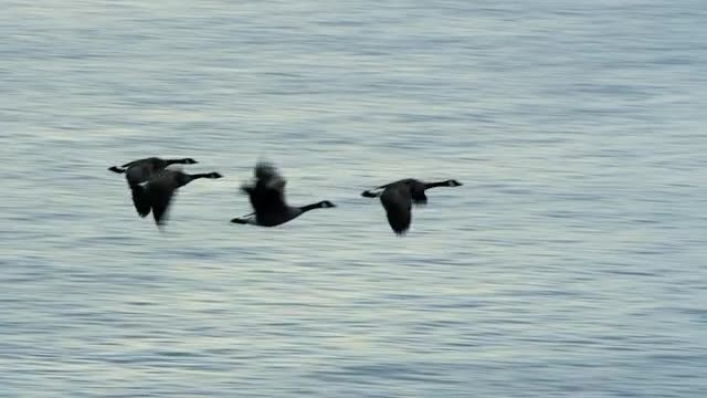 Geese Flying Over The Ocean: Stock Video