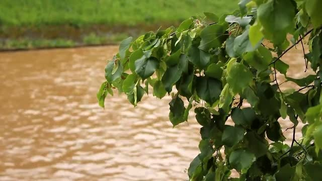 Linden Tree By City River: Stock Video