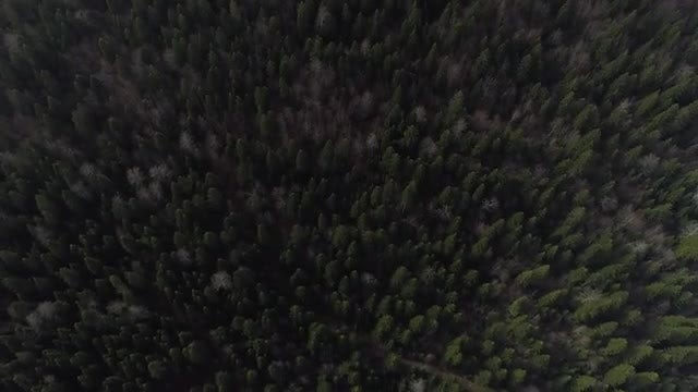 Aerial Shot Of Pine Trees: Stock Video