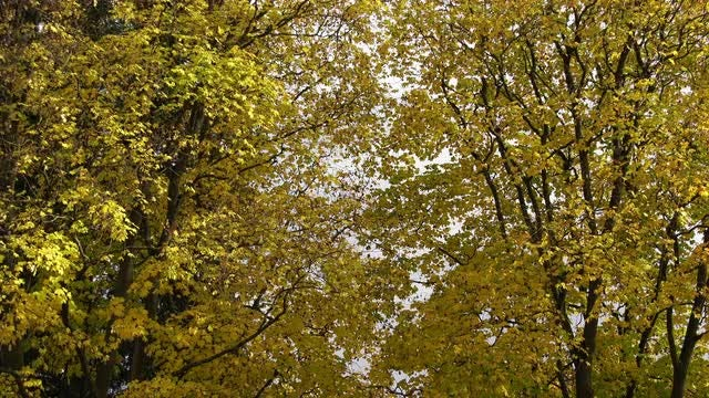 Close-up Shot Of Maple Trees: Stock Video
