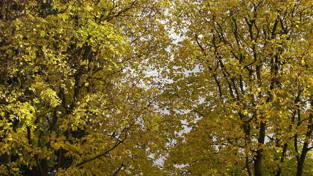 Maple Trees With Falling Leaves: Stock Video
