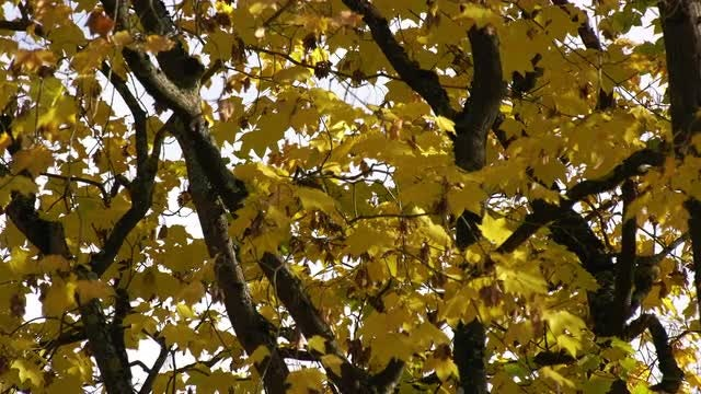 Maple Tree In Autumn: Stock Video