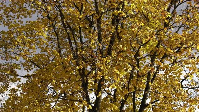 Zoom-in Shot Of Maple Tree: Stock Video