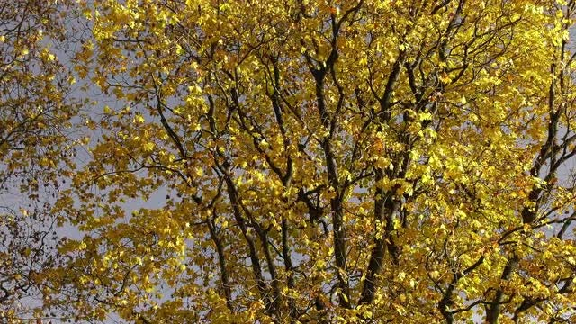 Maple Tree With Yellow Leaves: Stock Video