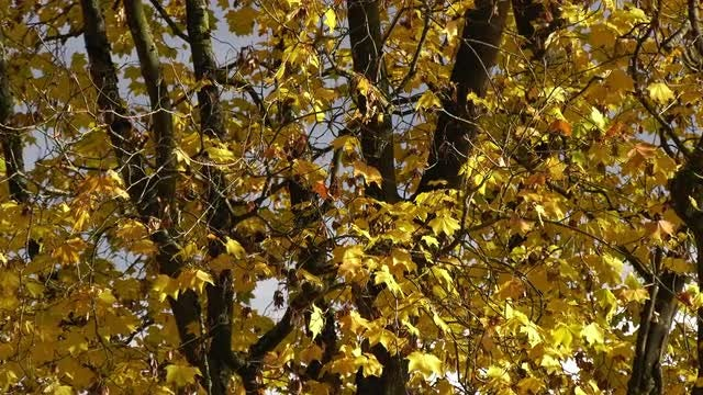 Maple Tree With Colorful Leaves: Stock Video