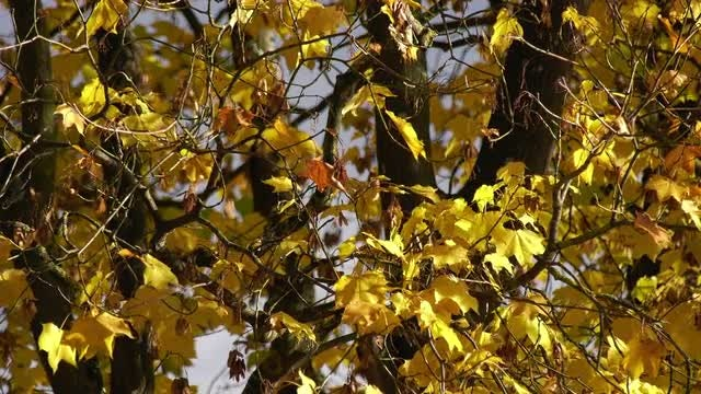 Yellow Maple Tree Leaves: Stock Video