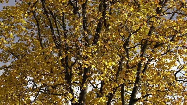Maple Tree Swaying In Wind: Stock Video