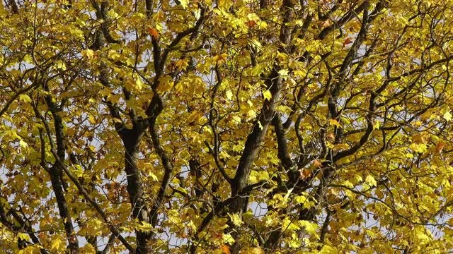 Close-up Shot Of Maple Tree: Stock Video
