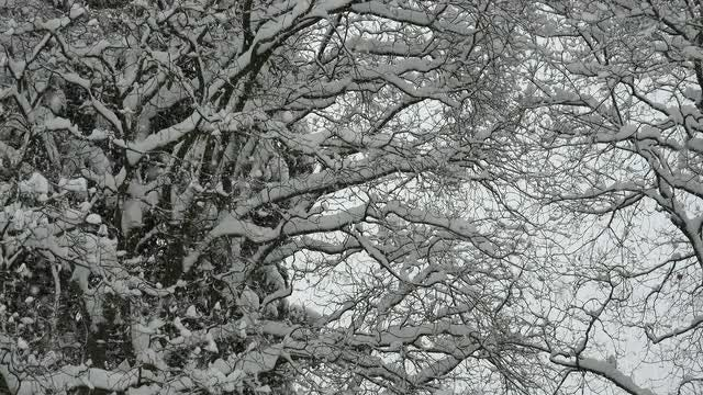 Snow Falling On Trees: Stock Video