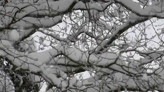 Snow Pilling Up On Trees: Stock Video