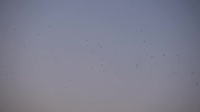 Flock Of Migratory Birds Flying At Sunset: Stock Video