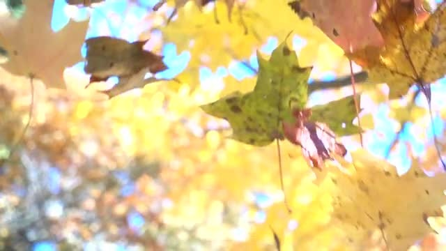 Colorful Leaves Falling: Stock Video