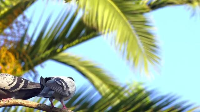 Pigeons Resting On Palm Tree: Stock Video