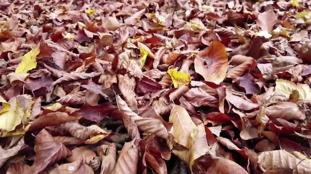 Fallen Autumn Leaves On Ground: Stock Video