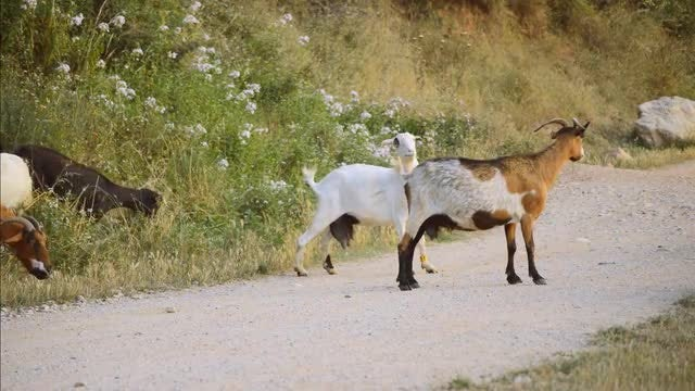 Goats Scratch Themselves: Stock Video