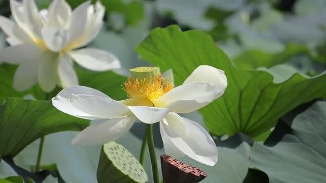 Lotus Flower Stock Video Motion Array