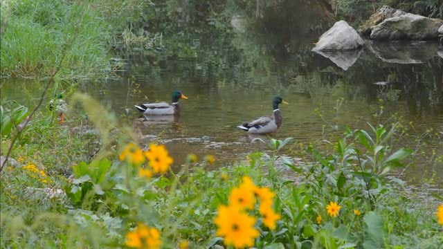 Mallard Ducks In A Pond: Stock Video