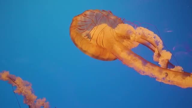 Jellyfish Spreading Out Its Bell: Stock Video