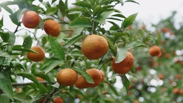 Tangerine Tree: Stock Video