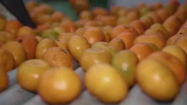 Tangerines On A Conveyor: Stock Video