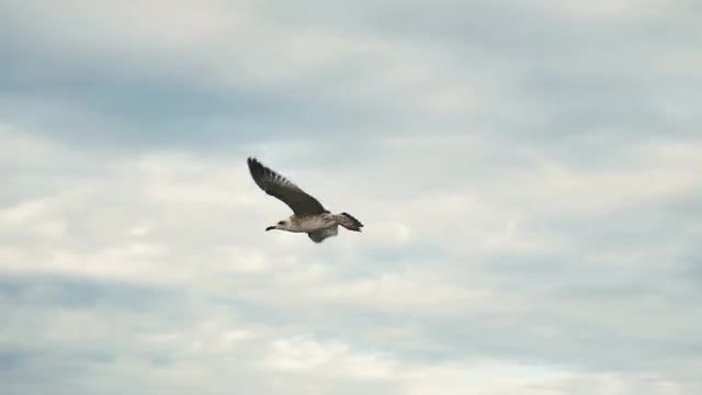 Seagull In The Sky: Stock Video