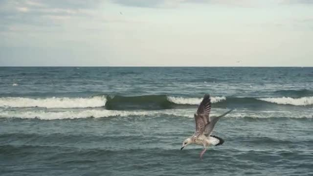 Seagull Descending On The Water: Stock Video