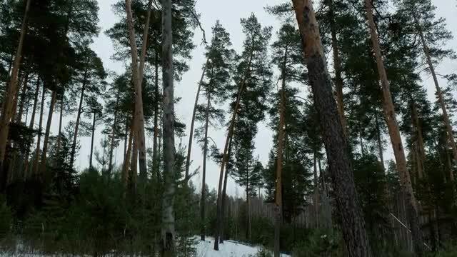 Walk Between The Pines In Winter: Stock Video