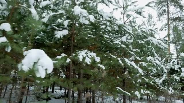 Small Fir Trees In Winter: Stock Video