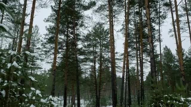 Pine Forest In Winter: Stock Video