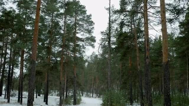 POV Of Pine Trees: Stock Video