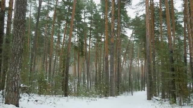 Pine Trees Covered In Snow: Stock Video